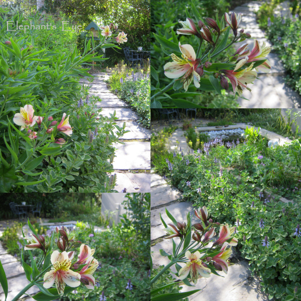 Alstroemeria blooming in our garden