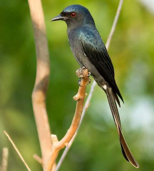 Birds of India - Image of Ashy drongo - Dicrurus leucophaeus