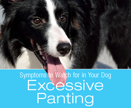 Symptoms To Watch For In Your Dog: Excessive Panting - updated