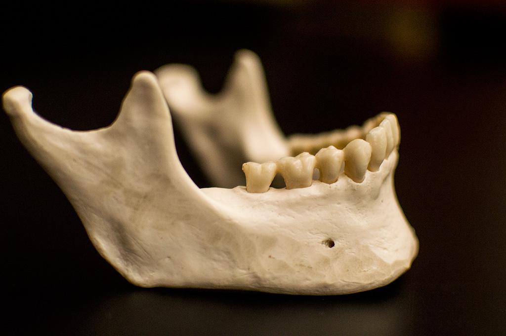 Human jaw bone anatomy