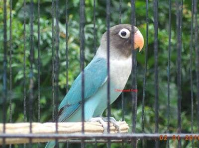 Cara Akurat Untuk Mengetahui Ciri Burung Love Bird Siap Untuk Di Lombakan