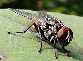 Daily Science Fact-How long does a fly live?