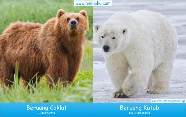 Perbedaan beruang coklat dan beruang kutub
