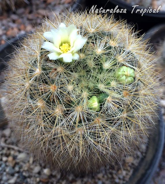 Esta especie de Mammillaria es un cactus pequeño muy hermoso por sus numerosas espinas radiales