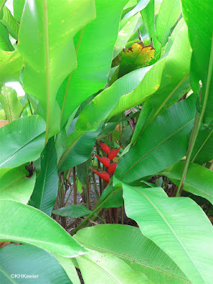 heliconia behind its big leaves, Costa Rica