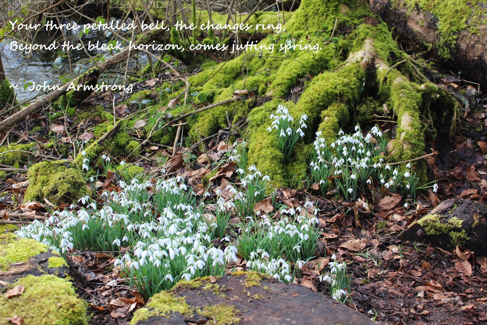 Snowdrops at Welford Park and extract from a poem by John Armstrong called Snowdrop