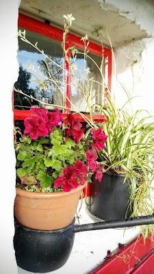 geraniums on a window