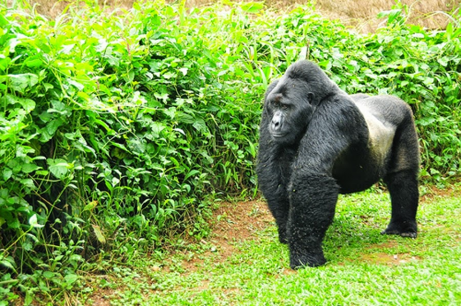 gorilla trekking uganda, affordable gorilla trek, lowest gorilla trek price at US$ dollars, gorilla tracking tour price, price range gorilla trek, gorilla safari costs, uganda gorilla tracking safari, budget gorilla safaris, uganda gorilla tours, uganda gorilla trek, gorilla permits uganda, gorilla tracking bwindi, luxury gorilla tour, luxury accommodation bwindi, uganda gorilla tracking car hire, uganda tour agent, Bwindi gorillas, primates uganda, private gorilla tour uganda