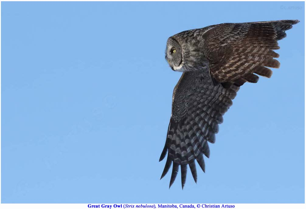 Christian Artuso: Birds, Wildlife: Great Gray Owl hunting ... - photo#50