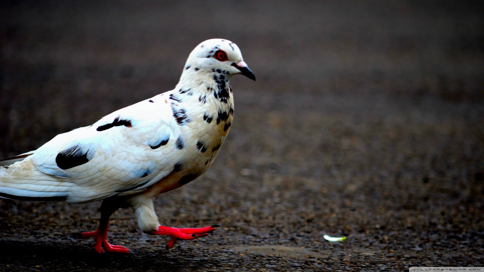 M Name Wallpaper Hd Awesome Amp Beautiful Wallpapers Of Pigeon In Hd For More
