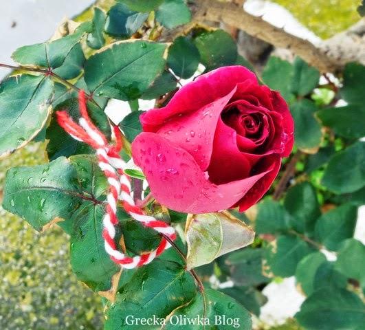biało-czerwonay talizman zawieszony na róży