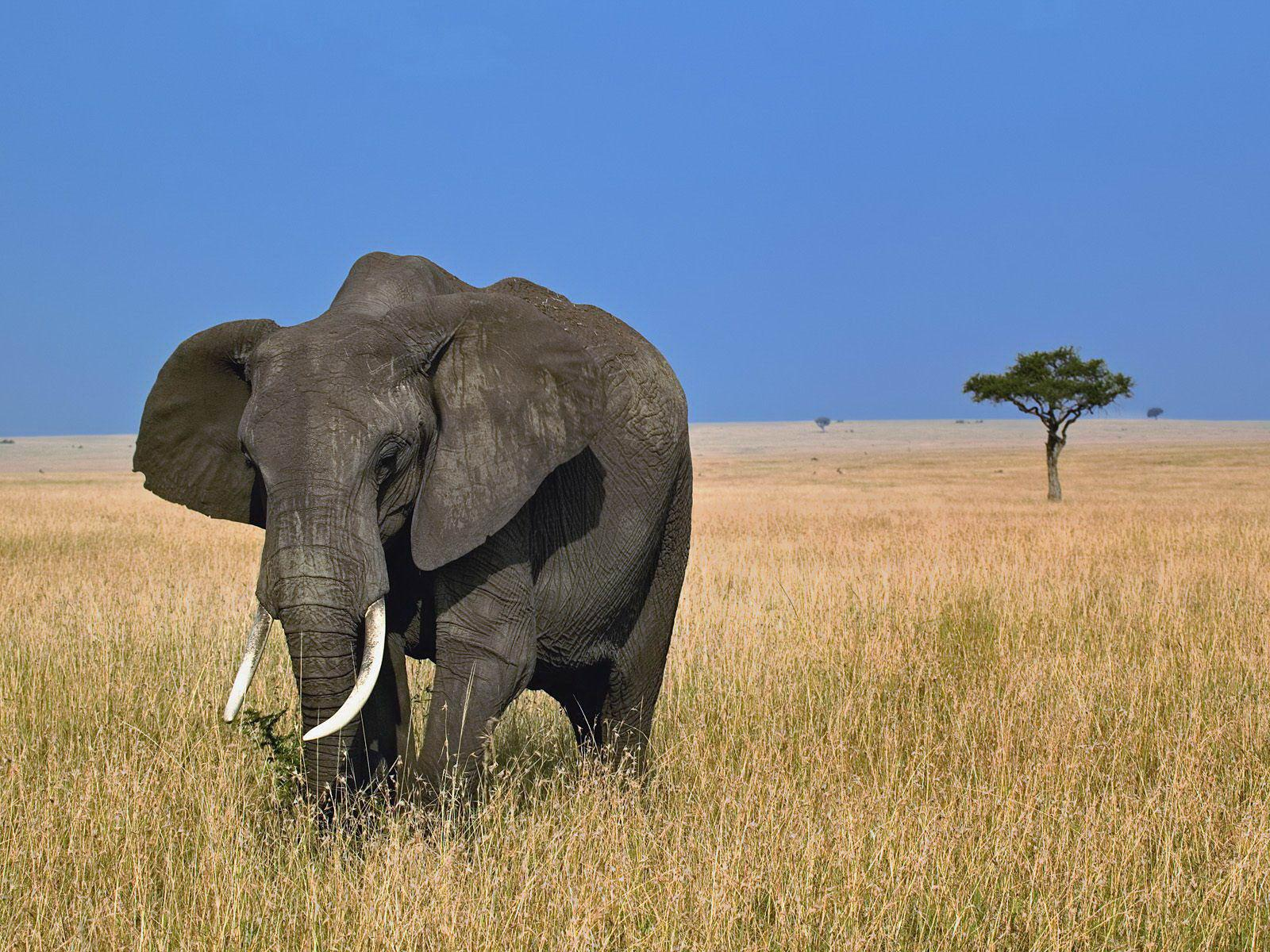 Beautiful Pictures Of Elephant In Hd: African Elephant Latest Hd Wallpapers/Images 2013