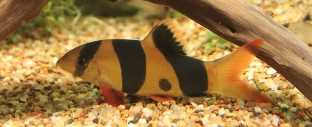 Gambar Ikan Botia - Budidaya Ikan
