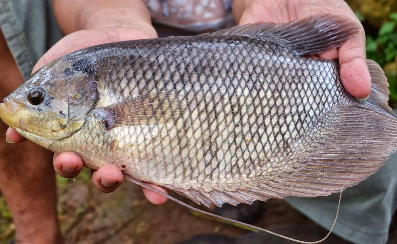 budidaya ikan gurame serta cara perawatan