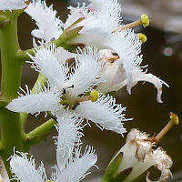 http://wild-flowers-of-europe.blogspot.nl/2014/11/menyanthes-trifoliata.html