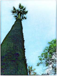 Palmeira Imperial no Museu Antropológico Caldas Júnior, Santo Antônio da Patrulha