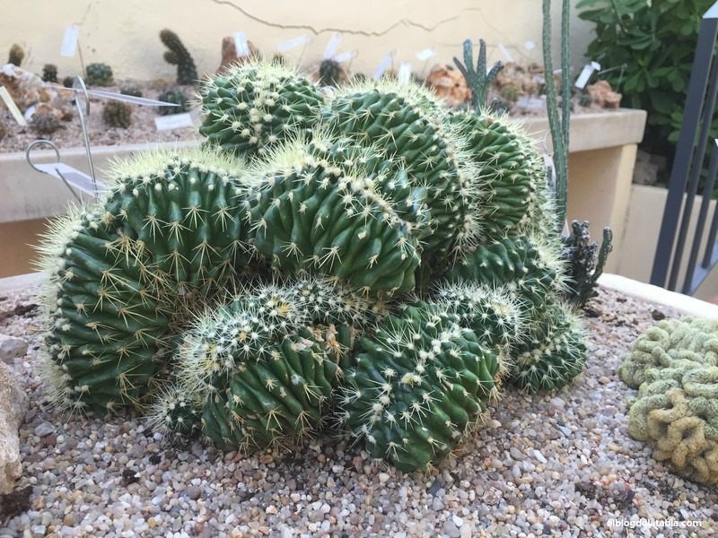 Echinocactus grusonii Hildm. f. cristata México