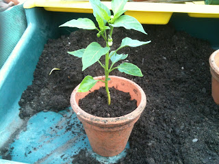 chillies, gardening, how to pot on, life on pig row.