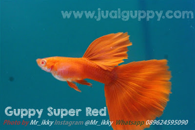 Jual Guppy Merah Full Red,  Harga Guppy Merah Full Red,  Toko Guppy Merah Full Red,  Diskon Guppy Merah Full Red,  Beli Guppy Merah Full Red,  Review Guppy Merah Full Red,  Promo Guppy Merah Full Red,  Spesifikasi Guppy Merah Full Red,  Guppy Merah Full Red Murah,  Guppy Merah Full Red Asli,  Guppy Merah Full Red Original,  Guppy Merah Full Red Jakarta,  Jenis Guppy Merah Full Red,  Budidaya Guppy Merah Full Red,  Peternak Guppy Merah Full Red,  Cara Merawat Guppy Merah Full Red,  Tips Merawat Guppy Merah Full Red,  Bagaimana cara merawat Guppy Merah Full Red,  Bagaimana mengobati Guppy Merah Full Red,  Ciri-Ciri Hamil Guppy Merah Full Red,  Kandang Guppy Merah Full Red,  Ternak Guppy Merah Full Red,  Makanan Guppy Merah Full Red,  guppy breeding Guppy Merah Full Red,  guppies for sale Guppy Merah Full Red,  guppy care Guppy Merah Full Red,  breeding guppiesGuppy Merah Full Red,  male guppiesGuppy Merah Full Red,  female guppiesGuppy Merah Full Red,  guppy aquariumGuppy Merah Full Red,  baby guppiesGuppy Merah Full Red,  poecilia reticulataGuppy Merah Full Red,  guppy tankGuppy Merah Full Red,  guppy fryGuppy Merah Full Red,  guppy giving birthGuppy Merah Full Red,  how long do guppies liveGuppy Merah Full Red,  guppysGuppy Merah Full Red,  guppy guppyGuppy Merah Full Red,  guppy foodGuppy Merah Full Red,  guppy breeding tankGuppy Merah Full Red,  fantail guppyGuppy Merah Full Red,  guppy breedsGuppy Merah Full Red,  guppy sGuppy Merah Full Red,  wild guppiesGuppy Merah Full Red,  guppy babiesGuppy Merah Full Red,  guppy varietiesGuppy Merah Full Red,  freshwater guppies Guppy Merah Full Red,  guppy female Guppy Merah Full Red,  tropical guppies Guppy Merah Full Red,  female guppies for saleGuppy Merah Full Red,  guppy priceGuppy Merah Full Red,  raising guppiesGuppy Merah Full Red,  guppies for sale onlineGuppy Merah Full Red,  guppy infoGuppy Merah Full Red,  buy guppies onlineGuppy Merah Full Red,  guppy saleGuppy Merah Full Red,  buy guppiesGuppy Merah Full Red,  guppy diseasesGuppy Merah Full Red,  guppies onlineGuppy Merah Full Red,  caring for guppiesGuppy Merah Full Red,  best food for guppiesGuppy Merah Full Red,  food for guppiesGuppy Merah Full Red,  blue guppyGuppy Merah Full Red,  guppy breeding setupGuppy Merah Full Red,  guppy birthGuppy Merah Full Red,  guppy speciesGuppy Merah Full Red,  gestation period for guppiesGuppy Merah Full Red,  guppys onlineGuppy Merah Full Red,  guppy care sheetGuppy Merah Full Red,  guppy blue  Jakarta,  keeping guppies  Bandung,  guppies for sale cheap  Medan,  the guppy  Bali,  guppy breeding cycle  Makassar,  show guppies  Jambi,  thai guppy  Pekanbaru,  male and female guppies  Palembang,  what to feed baby guppies  Sumatera,  yellow guppy  Langsa,  guppy names  Lhokseumawe,  guppy gestation period  Meulaboh,  feeding guppies  Sabang,  guppy genetics  Subulussalam,  guppy show  Denpasar,  turquoise guppy  Pangkalpinang,  guppy fry care  Cilegon,  guppy games  Serang,  guppy gestation  Tangerang Selatan,  guppy colors  Tangerang,  guppy tank setup  Bengkulu,  trinidadian guppies  Gorontalo,  guppies having babies  Kota Administrasi Jakarta Barat,  guppy strains  Kota Administrasi Jakarta Pusat,  what do guppies eat  Kota Administrasi Jakarta Selatan,  what to feed guppies  Kota Administrasi Jakarta Timur,  guppy life span  Kota Administrasi Jakarta Utara,  how to care for guppies  Sungai Penuh,  guppy male and female  Jambi,  what is a guppy  Bandung,  guppy natural habitat  Bekasi,  german guppy  Bogor,  guppy poecilia reticulata  Cimahi,  guppy images  Cirebon,  images of guppies  Depok,  fishguppy  Sukabumi,  guppy facts  Tasikmalaya,  how many babies do guppies have  Banjar,  how big do guppies get  Magelang,  how to take care of guppies  Pekalongan,  fan tailed guppies  Purwokerto,  guppy pregnant  Salatiga,  guppy life cycle  Semarang,  temperature for guppies  Surakarta,  what are guppies  Tegal,  guppies restaurant  Batu,  guppy definition  Blitar,  guppy meaning  Kediri,  guppy size  Madiun,  define guppy  Malang,  guppy wiki  Mojokerto,  how do guppies give birth  Pasuruan,  baby guppys  Probolinggo,  guppies bar  Surabaya,  how many fry do guppies have  Pontianak,  guppy behavior  Singkawang,  how many babies does a guppy have  Banjarbaru,  where do guppies come from  Banjarmasin,  how do guppies reproduce  Palangkaraya,  what does guppy mean  Balikpapan,  what is guppy  Bontang,  types of guppy  Samarinda,  guppy guppies  Tarakan,  guppy house hours  Batam,  guppys on the go  Tanjungpinang,  guppys restaurant  Bandar Lampung,  guppies definition  Kotabumi,  do guppies eat their babies  Liwa,  gestation guppy  Metro,  bubble guppies  Ternate,  guppy  Tidore Kepulauan,  Guppy Merah Full Red  Ambon,  Guppy Merah Full Red  Tual,  Guppy Merah Full Red  Bima,  Guppy Merah Full Red  Mataram,  Guppy Merah Full Red  Kupang,  Guppy Merah Full Red  Sorong,  Guppy Merah Full Red  Jayapura,  Guppy Merah Full Red  Dumai,  Guppy Merah Full Red  Pekanbaru,  Guppy Merah Full Red  Makassar,  Guppy Merah Full Red  Palopo,  Guppy Merah Full Red  Parepare,  Guppy Merah Full Red  Palu,  Guppy Merah Full Red  Bau-Bau,  Guppy Merah Full Red  Kendari,  Guppy Merah Full Red  Bitung,  Guppy Merah Full Red  Kotamobagu,  Guppy Merah Full Red  Manado,  Guppy Merah Full Red  Tomohon,  Guppy Merah Full Red  Bukittinggi,  Guppy Merah Full Red  Padang,  Guppy Merah Full Red  Padangpanjang,  Guppy Merah Full Red  Pariaman,  Guppy Merah Full Red  Payakumbuh,  Guppy Merah Full Red  Sawahlunto,  Guppy Merah Full Red  Solok,  Guppy Merah Full Red  Lubuklinggau,  Guppy Merah Full Red  Pagaralam,  Guppy Merah Full Red  Palembang,  Guppy Merah Full Red  Prabumulih,  Guppy Merah Full Red  Binjai,  Guppy Merah Full Red  Medan,  Guppy Merah Full Red  Padang Sidempuan,  Guppy Merah Full Red  Pematangsiantar,  Guppy Merah Full Red  Sibolga,  Guppy Merah Full Red  Tanjungbalai,  Guppy Merah Full Red  Tebingtinggi,  Guppy Merah Full Red  Yogyakarta,