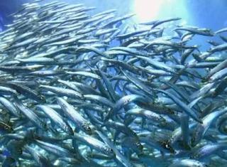 Di kenal dengan nama sarden alasannya ialah ikan tersebut di masak dan di olah menjadi ikan kaleng Kabar Terbaru- IKAN SARDEN