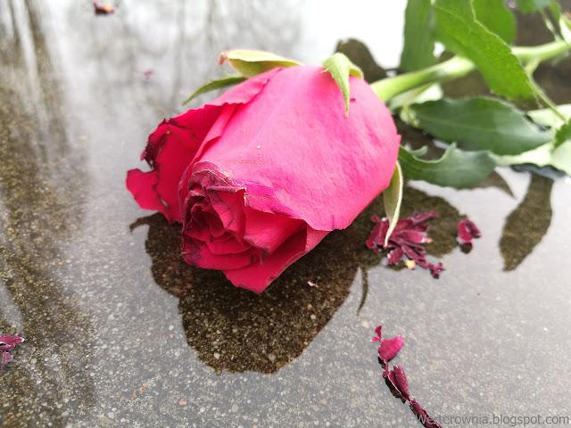 róża werterownia