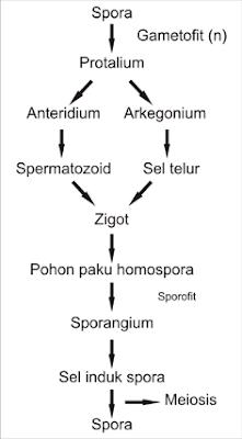 Siklus hidup paku homospora