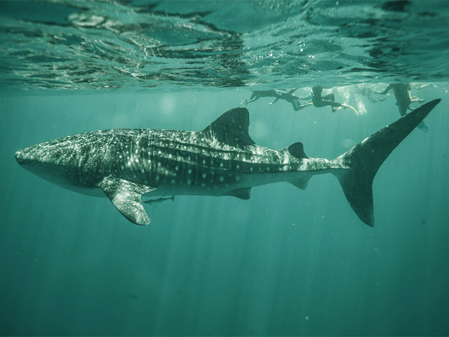 whale shark wallpaper 1