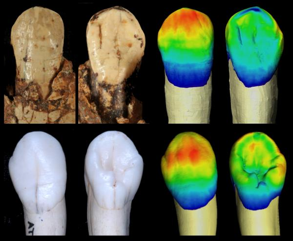 The hominins of Sima de los Huesos are drawing ever closer to the Neanderthals