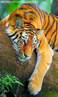 Tiger in Periyar National park