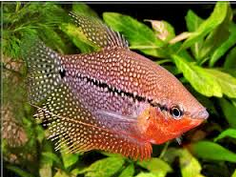 Jenis Ikan Hias Air Tawar Sepat Hias