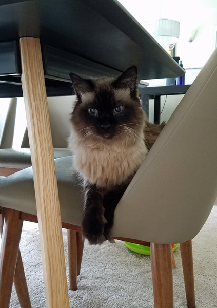 image of Matilda the Fuzzy Sealpoint Cat sitting on a dining room chair, staring into space