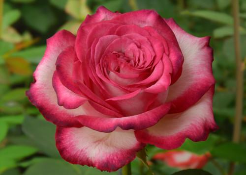 Highlander rose сорт розы фото