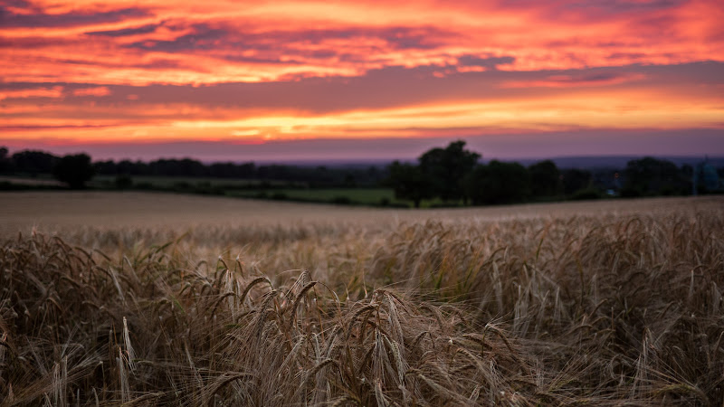 Red Sunset and Wheat Field