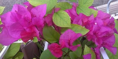 Bouganvillea%2Bflowers1.jpg