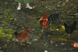 Red Junglefowl.