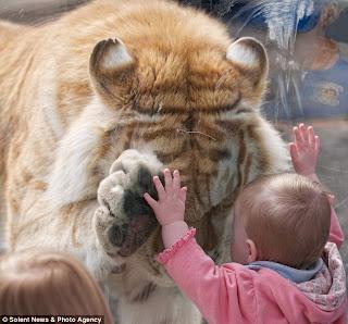 fetita tigru1