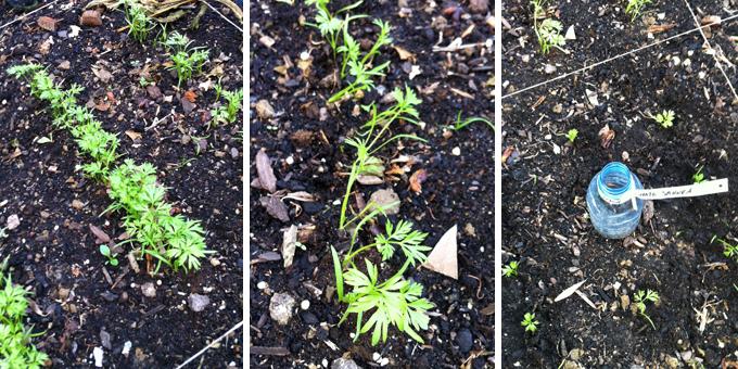 le petit carr de jardin eclaircissement des semis de carottes. Black Bedroom Furniture Sets. Home Design Ideas