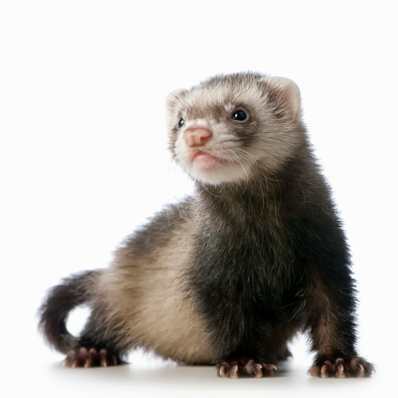 Ferret Animals Interesting Facts Amp Latest Pictures All