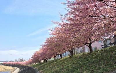 Sakura em Okazaki