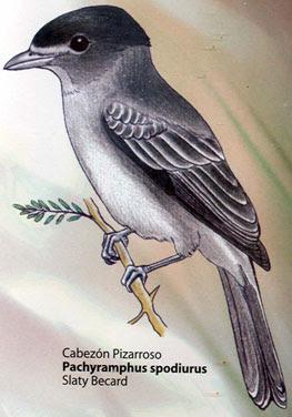Anambé pizarra Pachyramphus spodiurus