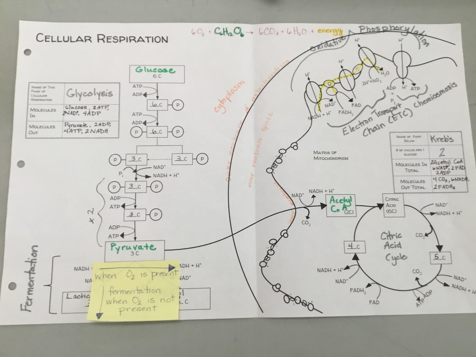 biology by the math mom: cellular respiration digital diagram