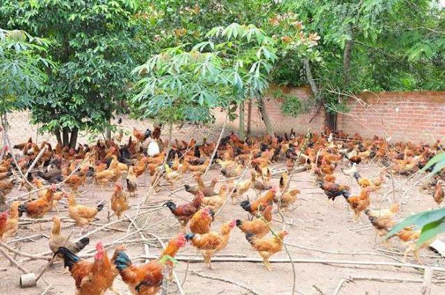 Hướng dẫn cách chăn nuôi gà ta thả vườn kinh tế và hiệu quả nhất