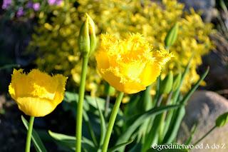 Tulipan fryzowany (strzępiasty) 'Hamilton' (Tulipa Fringed (Crispa) 'Hamilton')- wygląd, uprawa i pielęgnacja