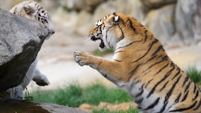 Wallpaper: Tigers at Southwicks Zoo