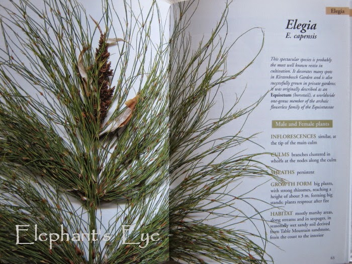 Elegia capensis grows in whorls like Equisetum, but NOT related