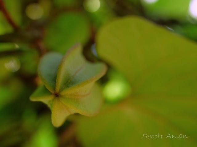 Aristlochia kaempferi