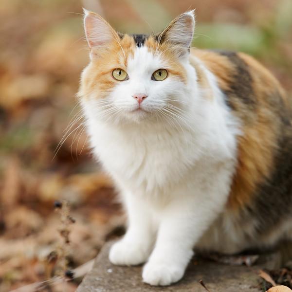 Gambar Kucing Warna Hitam Putih godean.web.id