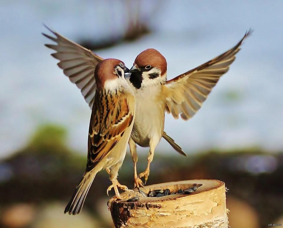 72+ Foto Gambar Burung Gereja Jantan Dan Betina HD Terbaik Gratis