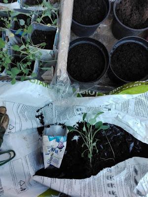 Orto di settembre: travasiamo i cavoli neri