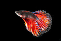 bisnis ternak ikan cupang, usaha ikan cupang, bisnis ikan cupang, budidaya ikan cupang, ikan cupang, modal ternak ikan cupang